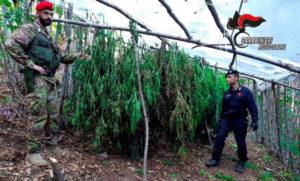 Sequestrate due piantagioni di canapa indiana con oltre mille piante