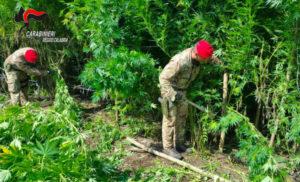 Scoperte dai carabinieri diverse piantagioni di marijuana, arresti