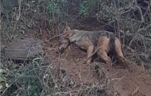 Squillace, rinvenuto lupo vivo accalappiato in una trappola illegale