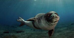 Una foca monaca avvistata lungo le coste della Calabria