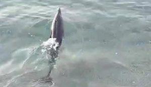 Cucciolo di delfino spiaggiato a Squillace