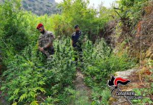 Piantagione di canapa indiana con 260 piante sequestrata dai carabinieri, tre giovani arrestati