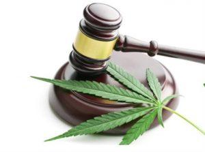 Arrestato con oltre 2kg di marijuana e 24 piantine a casa, ma era cannabis light: assolto un 27enne di Davoli