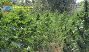 Maxi sequestro di marijuana nel catanzarese, scoperte oltre 3000 piante: avrebbero fruttato milioni di euro