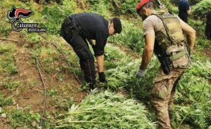 Sequestrata una piantagione di marijuana, era composta da oltre 1.200 piante