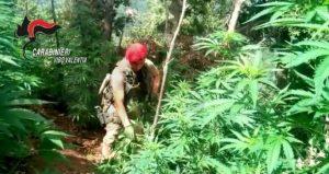 Scoperta una piantagione di marijuana formata da circa 200 piante