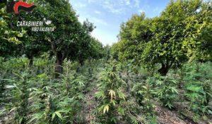 Rinvenuta piantagione con 10mila piante di marijuana, 57enne arrestato