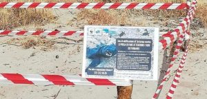 """""""Necessario proteggere la nidificazione delle tartarughe Caretta caretta a Squillace"""""""