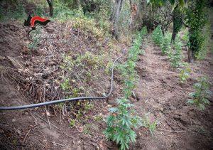Scoperta in Calabria una nuova piantagione di canapa indiana, due arresti