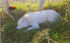 Cani per la custodia del gregge non dichiarati all'anagrafe, allevatore multato