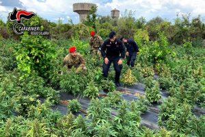 Scoperta una vasta piantagione di marijuana, sequestrate 2500 piante. Tre arresti