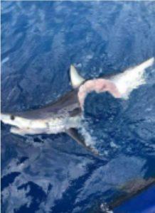 Da predatore a preda. Squalo mangia squalo?