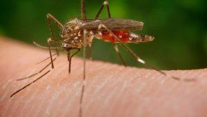 Attenzione alla zanzara giapponese, è arrivata in Italia e porta con sé diversi virus e malattie
